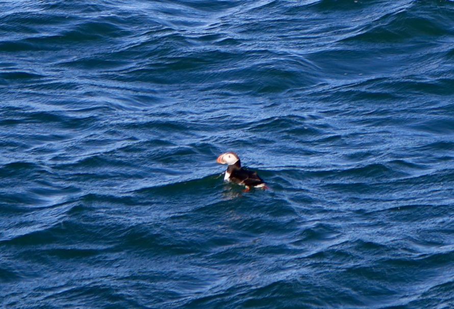 Iceland Sightseeing Tip: Puffin Watching Tour from Reykjavik